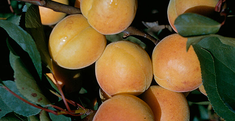 Protection phytosanitaire en cultures des abricots, pêches et nectarines